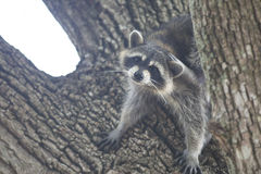 Racoon mammal in the wild Procyon lotor Royalty Free Stock Photo