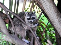 Racoon or north American raccoon Royalty Free Stock Photos