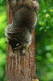 Racoon novo que escala para baixo uma árvore Fotografia de Stock