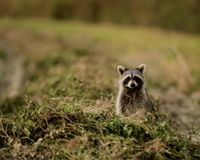 Racoon in Peanuts Royalty Free Stock Image