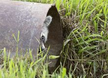 Racoon Peeking. Out of culvert Saskatchewan Canada Royalty Free Stock Photography