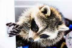 Racoon Close up. Racoon playing with ice from a cooler Royalty Free Stock Photography