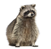 Racoon, Procyon Iotor, sitting, isolated Stock Photography