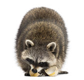 Racoon, Procyon Iotor,  standing, eating an egg, isolate Stock Photos