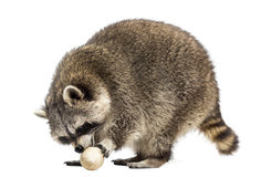 Racoon, Procyon Iotor,  standing, eating an egg, isolated Stock Photography