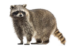 Racoon, Procyon Iotor, Standing, Isolated Royalty Free Stock Photo