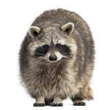 Racoon, Procyon Iotor, standing Stock Photo