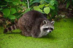 racoon procyon lotor Стоковая Фотография