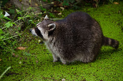 Racoon, Procyon lotor Royalty Free Stock Photo