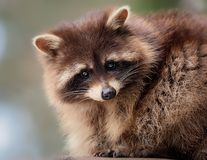 Racoon - Procyon lotor Royalty Free Stock Images