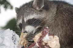 Racoon - Procyon lotor eating Pizza. A racoon eating remains of a pizza Royalty Free Stock Photography