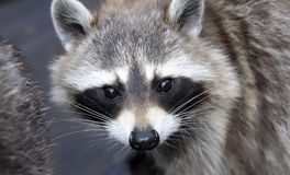 Racoon (Procyon lotor) face, close-up Stock Images