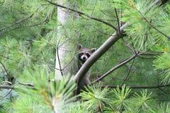 Racoon que oculta en un árbol de pino Fotografía de archivo