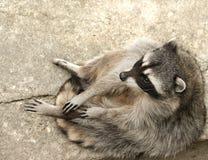 Racoon que se sienta y de relajación Imagenes de archivo