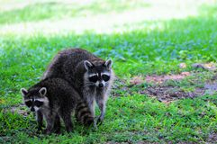 Racoon or raccoon & baby in South Florida Stock Photo
