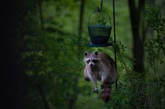 Racoon. At a bird feeder in the night forest Royalty Free Stock Image