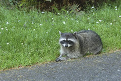 Racoon by the road. Royalty Free Stock Image