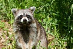 Racoon salvaje Imagen de archivo libre de regalías