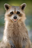 Racoon selvagem Fotografia de Stock Royalty Free