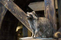 Racoon Stock Images