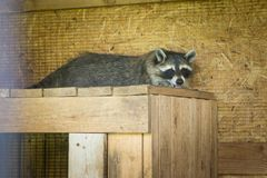 Racoon sleeping in its house in a farm stock images
