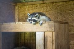 Racoon sleeping in its house in a farm stock photo