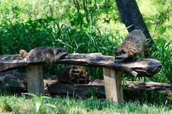 raccoon smorgasbord Stock Photography
