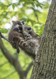 Racoon in tree with baby Stock Photos
