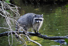 Racoon on the tree over water Royalty Free Stock Photos
