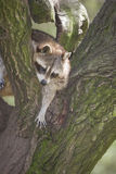 Racoon in the tree Royalty Free Stock Images