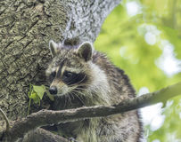 Racoon in tree Royalty Free Stock Photo