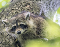 Racoon in tree Stock Photo