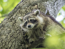 Racoon in tree Stock Photos