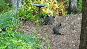 Racoon troupe near a bird bath exit stage right stock video footage