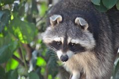 Racoon waiting in a tree. Watching its surroundings with leaves in the back Stock Images