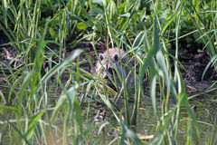 A Racoon in the Weeds Stock Photo