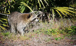 Racoon in the Wild Royalty Free Stock Image