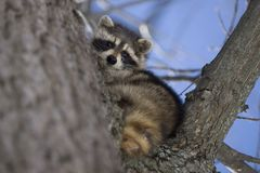 Racoon in Winter Royalty Free Stock Photography