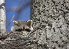 Racoon in Winter Royalty Free Stock Images