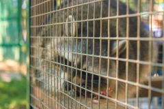 Racoon in the zoo Royalty Free Stock Photography