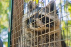 Racoon in the zoo Stock Photography