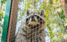 Racoon in the zoo. & x27;s cage at morning Stock Photos