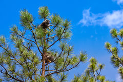 Racoons σε ένα δέντρο Στοκ Εικόνες