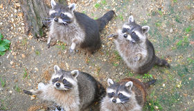 Racoons images stock