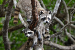 Racoons in the forest. North American racoons Procyon lotor in the mixed forest, United States Royalty Free Stock Image