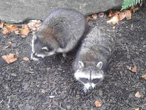 Racoons waiting for food Royalty Free Stock Photos