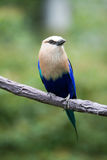 A racquet-tailed roller Royalty Free Stock Images