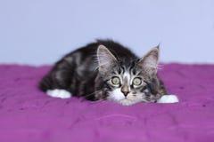 Racum de maine do gatinho da cor cinzenta listrada que monitora sua rapina na posição de encontro imagens de stock
