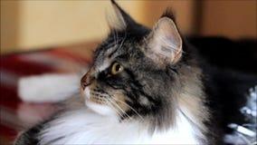 racum novo de maine do gatinho, fim acima vídeos de arquivo