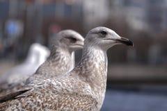 Rad av barnsliga sillfiskmåsar/seagull-/Larusargentatusanseende på en vägg som förbiser floden royaltyfri fotografi